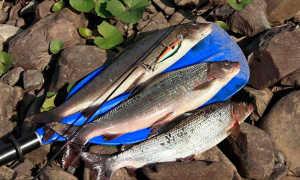 Сижки: сиговая рыбалка, приманки, снасти, нерест сига, описание, где обитает?