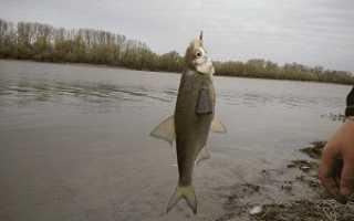 Ловля воблы в Астрахани: ловля весной, в апреле, правила, снасти, видео, наживка