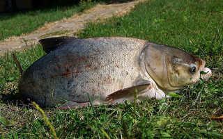 Что за рыба толстолобик и на что он клюет: какие нужны наживки и прикормка?