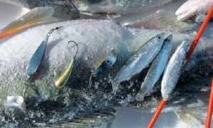 Ловля судака на тюльку зимой: видео, снасть и тактика ловли и блеснения, рыбалка на Каме