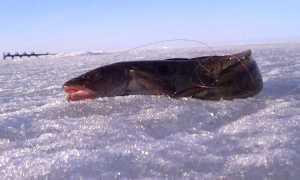 Стукалка на налима: ловля зимой, видео, рыбалка, изготовление своими руками