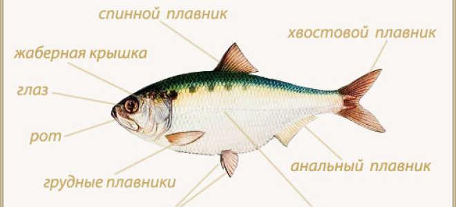 Чем питаются рыбы, хищники в водоемах: рыбы, питающиеся насекомыми, растениями
