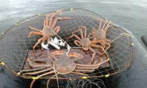 Где, как ловить крабов на Черном море правильно: видео, можно ли ловить крабов?