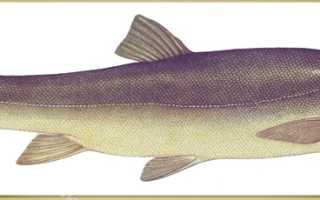 Рыба маринка – как выглядит и где находится в Казахстане