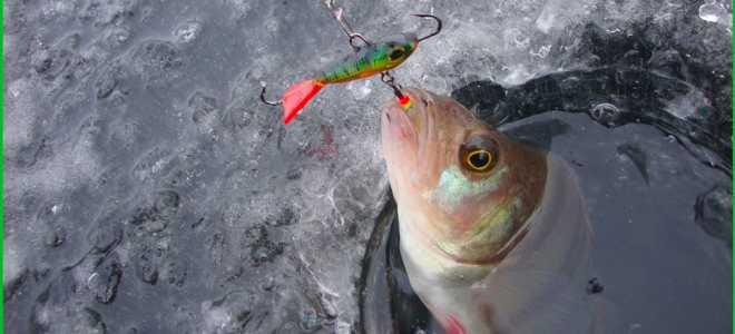 Ловля окуня зимой: уловистый цвет балансира, ловля на черта, где искать окуня?