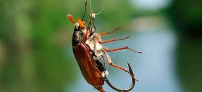 Как ловить голавля на майского жука – условия и техника ловли