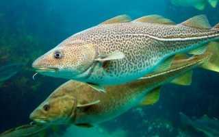 Какие рыбы относятся к роду семейства тресковых, треска морская или речная рыба: список, названия, виды