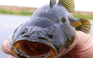 Рыба ротан – как ловить, какого она цвета и можно ли ее есть