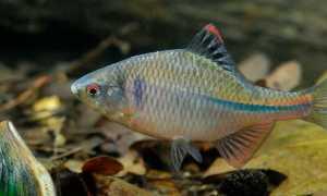Рыба горчак – можно ли ее есть, где обитает