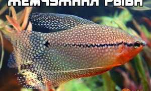 Жемчужная рыба, атлантическая жемчужная рыба: где ловят, морская или речная?
